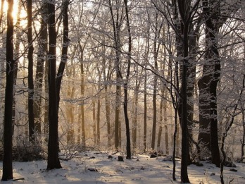 Beech tree forest in winter